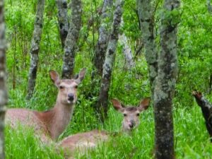 kushiro-wetland-kottaro-observatory-ezo-deer