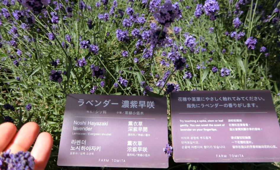 farm-tomita-lavender