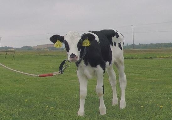 watanabe-farm-cow