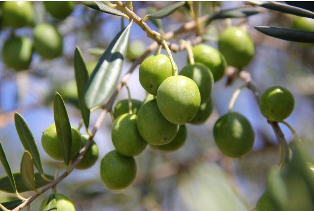 syoudo-olive