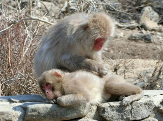 syodo-monkey-parent-and-child