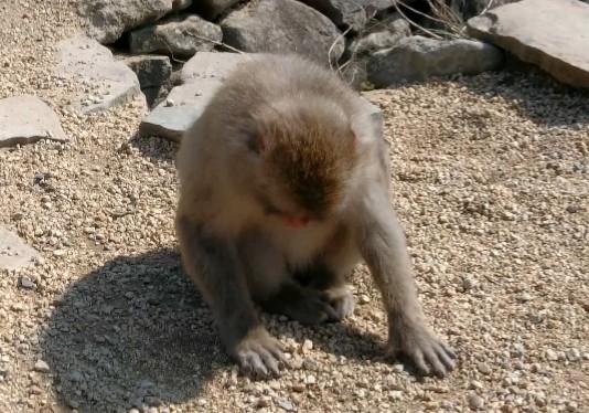 syodo-monkey